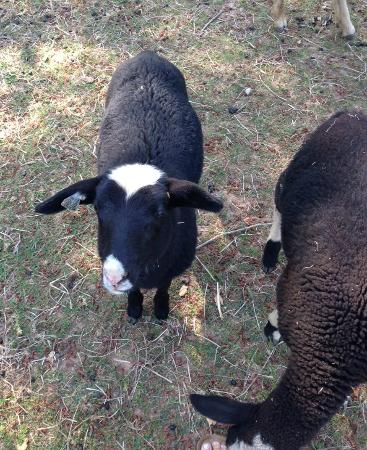 Philo, Califórnia: One of our many lambs