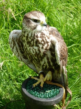 Chris Miller - Falconry Experience Days-Day Tours: Dave the gyrfalcon - beautiful and very fast but we didn't get to see him fly today