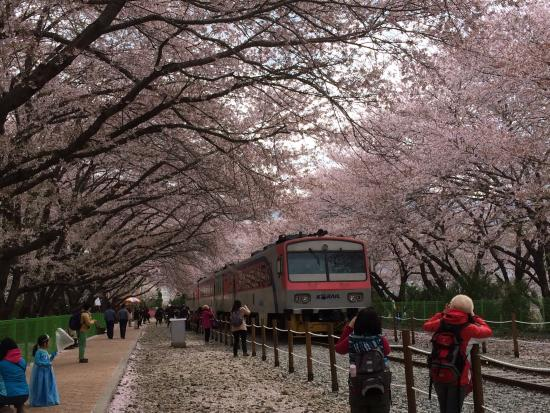 Gyeonghwa Station Cherry Blossom Road