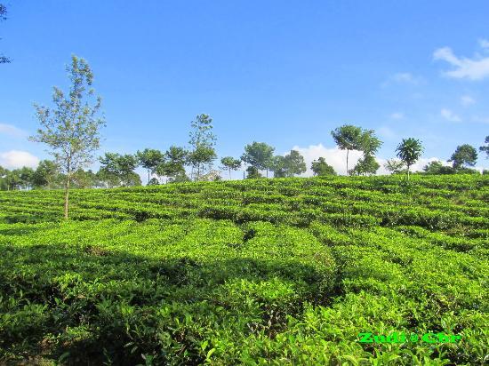 Kebun Teh Tanjung Sari: impressive