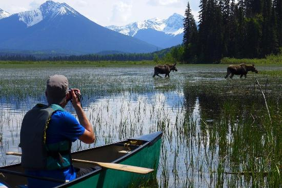 Wells, Canadá: Moose are a common sight