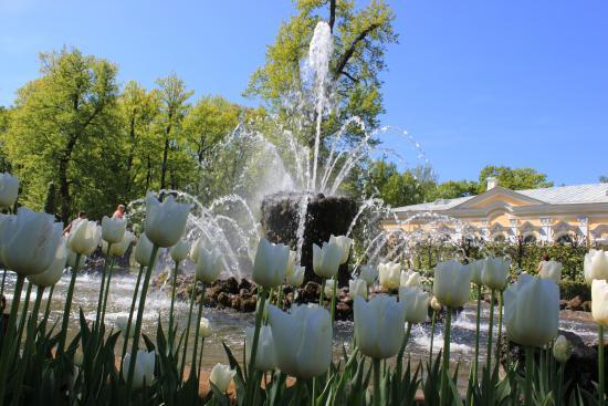 Картинки по запросу петергоф тюльпаны