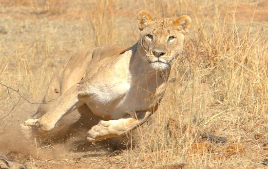 Khakiweed Photographic Safaris: Lioness on hunt
