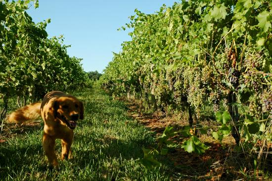 Knob Hall Winery: Baxter in the vineyard
