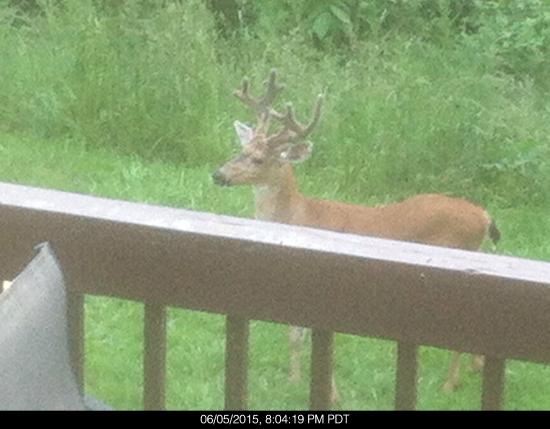 Mt. Scott Manor Bed and Breakfast : Deer viewed from rear deck facing forest