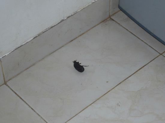 Kakerlake in der Küche - Bild von Bali Oase Resort, Pemuteran ...