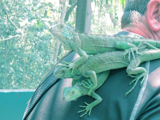 San Ignacio, Belize: Junior iguanas are pretty keen to see you
