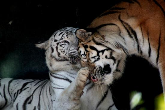Si Racha, Tailandia: The big cats place