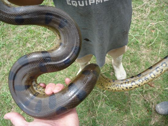 Ecological Jungle Trips: Anaconda