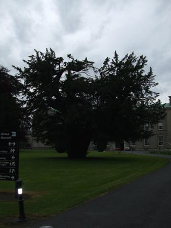 Maynooth Campus Conference & Accommodation: oldest tree in europe