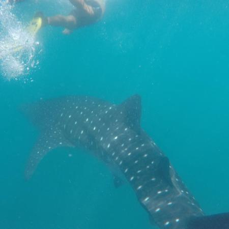 Donsol whaleshark friends - Picture of Donsol Whale Shark