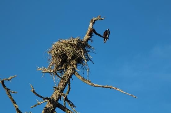 Mercer Lake Resort: Osprey & Nest!