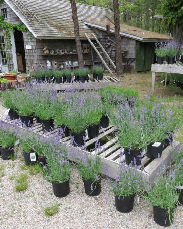 Cape Cod Lavender Farm: Lavender Farm