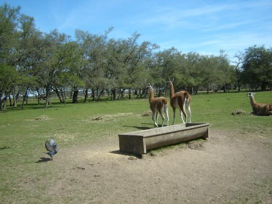 La Plata, Argentinië: Camélidos sudamericanos