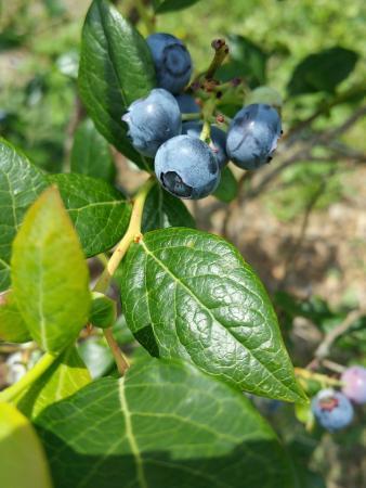 Hop'n Blueberry Farm: Organic Blueberry Crop