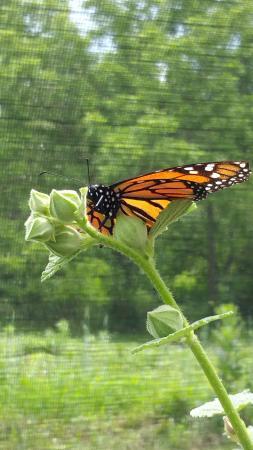 Hop'n Blueberry Farm: Monarch Butterfly House