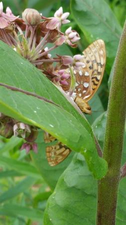 Hop'n Blueberry Farm: Milkweed Pollinating Garden