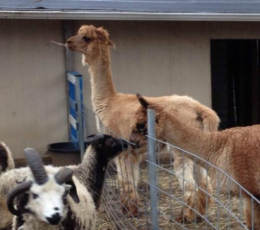 petting zoo alpacas sheep picture of festival farm hope