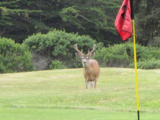 Breakers Inn: Hirsche auf dem Golfplatz