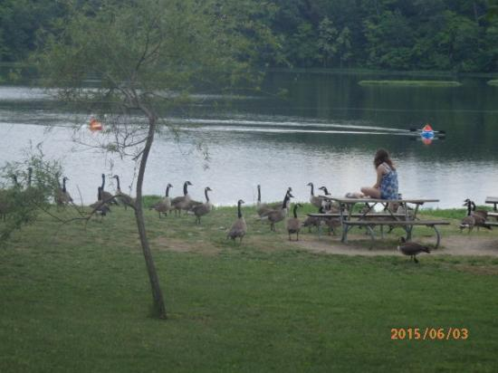 Circleville, OH: The geese can be interesting.