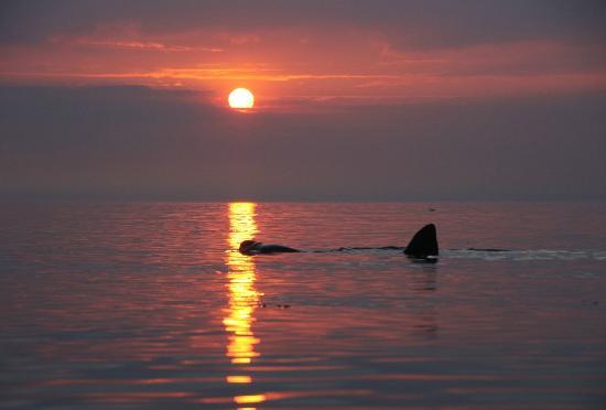 Adventurous Experiences: Basking Shark at Sunset