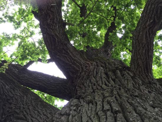 Kauguri Giant Oak