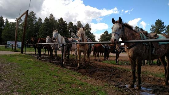 High Mountain Trail Rides: Horses enjoying the cool pines.