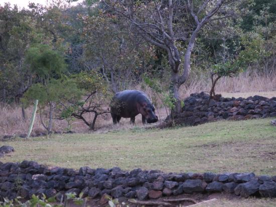 Leopard Lodge: Max the Hippo