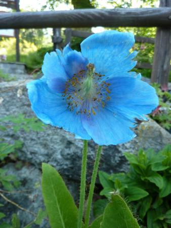 Oasi WWF Giardino Botanico di Oropa: papavero azzuro