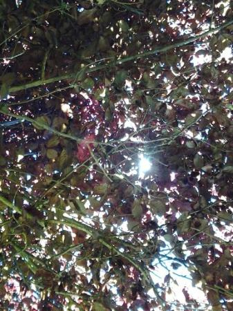 XXX Rootbeer: Looking up  to the sun through the shade tree.