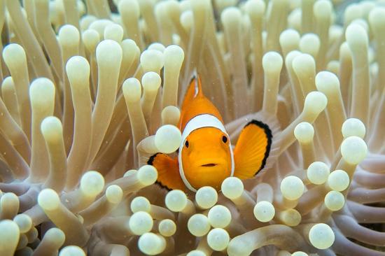 Scuba Junkie Mabul Beach Resort: Nemo right off the beach in Mabul