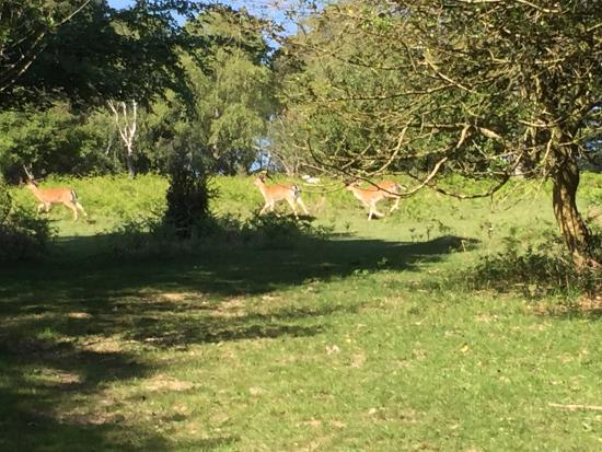 Ocknell and Longbeech Campsites: Great to see deer roaming right through campsite