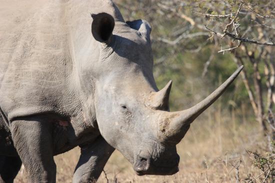 Nselweni Bush Camp: Rhino reigning supreme...