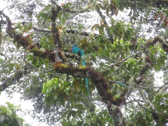 El Manantial Mountain Lodge: Resplended quetzals - across the road from the Lodge. 4 of them on 1 tree, definately my highlig