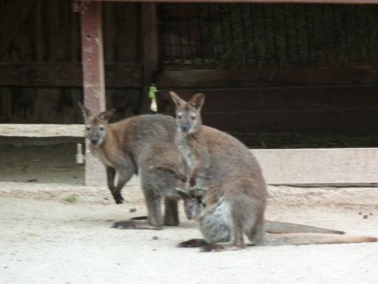 Le Jardin des bêtes : Kangourous curieux