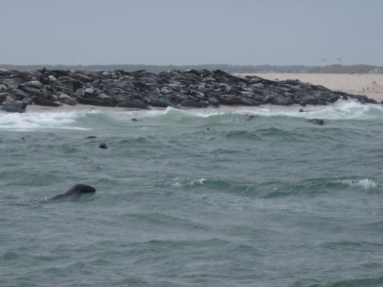Monomoy Island Excursions: Seals in the water and in a pile