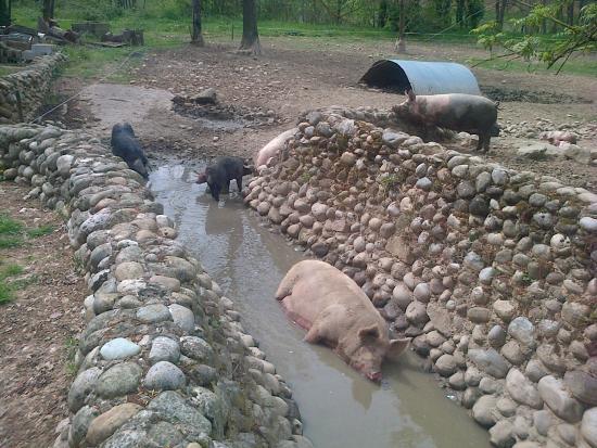 La Terrine : l'élevage de cochon en liberté