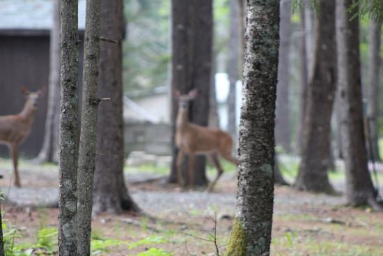 Sherwood Forest Campsite and Cabins : OK. I'm a crappy photographer, but having three deer visit our campsite was pretty cool.