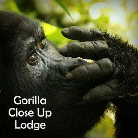 Gorilla CloseUp Lodge