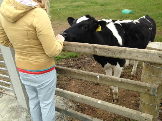 The Whins B&B : curious cows