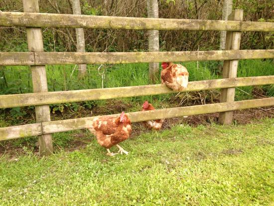 The Whins B&B : Playful chickens