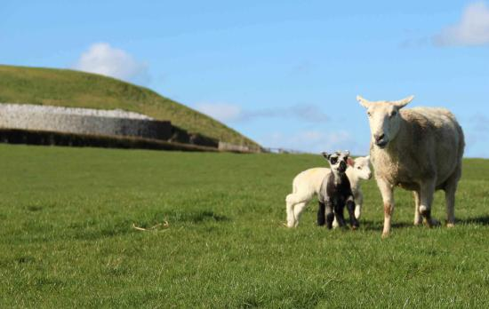Slane, Irlandia: Lambs born on Newgrange farm with their mother