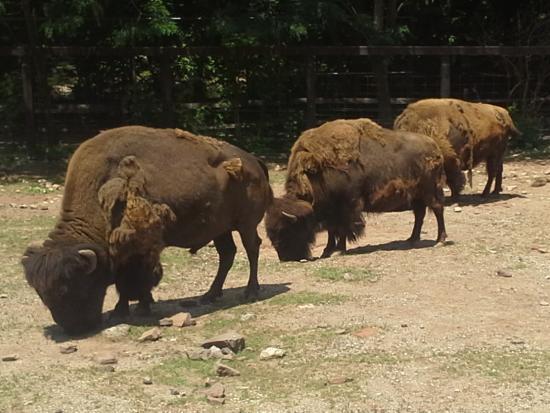 Elmwood Park Zoo: Bison