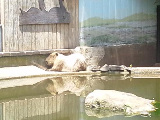 Elmwood Park Zoo: Capibaras
