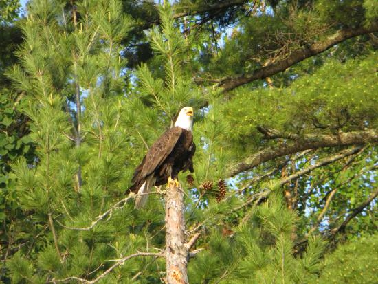 "Crane Lake, MN: ""Iggy"" the eagle at Kabatogama"