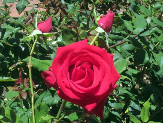 Rose Garden, Central Park, San Mateo, Ca