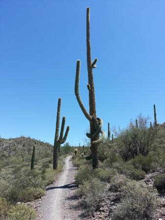 Cave Creek Regional Park: Really tall cactus