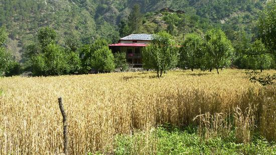Wheat fields in Tirthan Valley