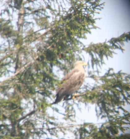Island Encounters: White Tailed Sea Eagle