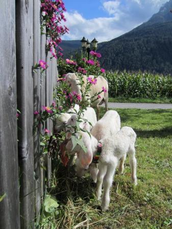 Landsitz Bichlhof: die Lämmer vor dem Haus